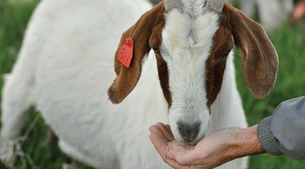 Goat eating Redmond minerals