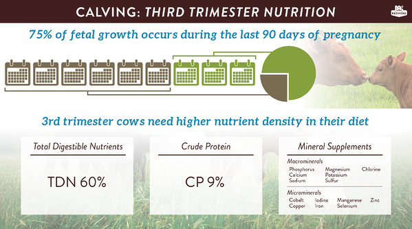 Fetal programming and calving, third trimester nutrition for cows