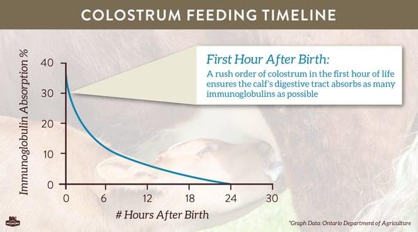 Colostrum feeding timeline for calves