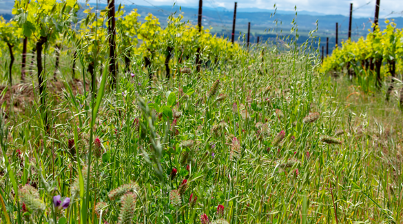 Cover crops in a vineyard