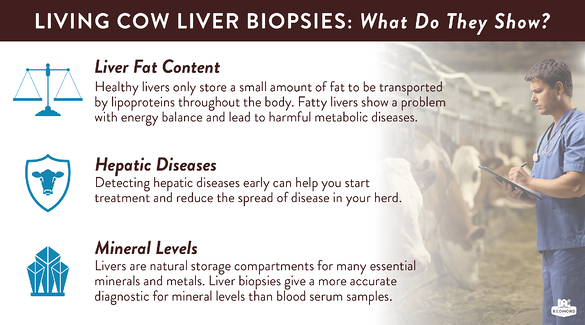 what do living cow liver biopsies show