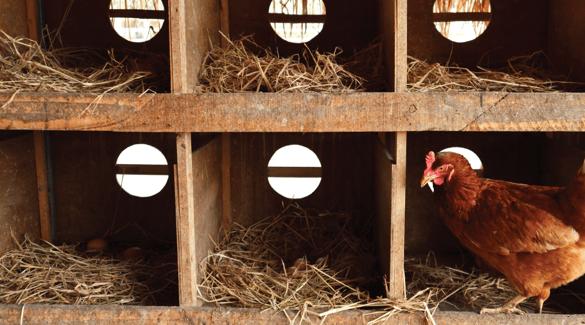 Chicken in a nesting box