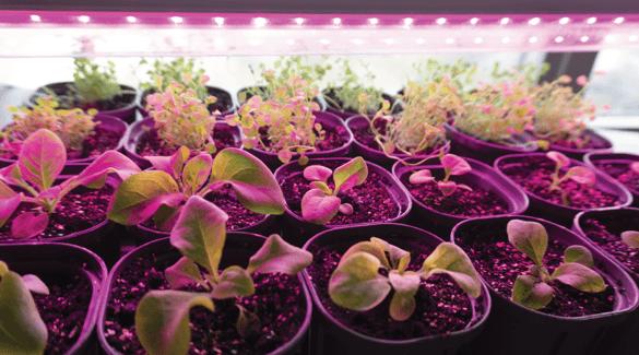 Seedlings under a grow light