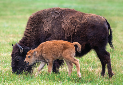Bison cow and calf grazing