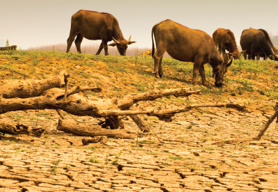 Cattle grazing during a drought