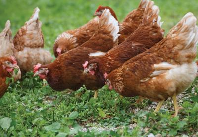 Chickens free range grazing